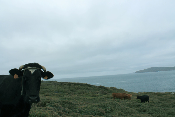 Capes, cliffs and cows at Muxia Cape Touriñan Cabo Tourinan Galicia